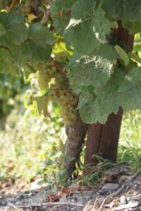 Riesling wichtigste Rebsorte im Weinanbaugebiet Rheingau