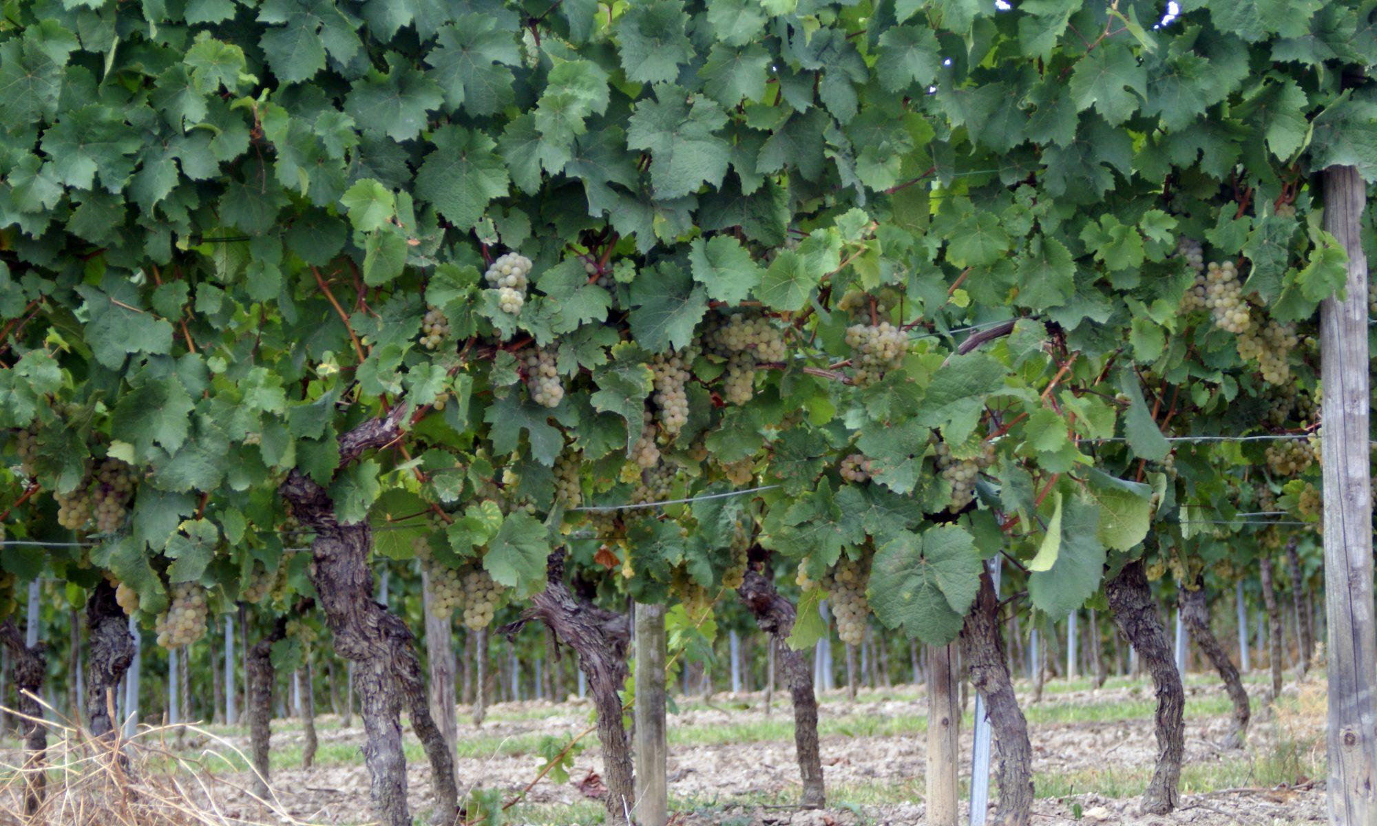 Rebstöcke Kerner - Weißwein