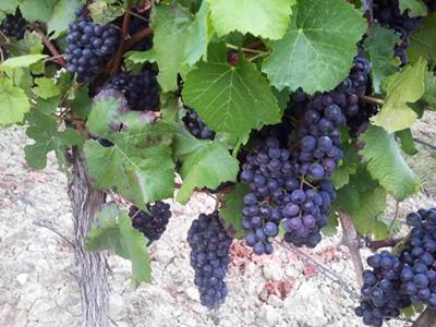 Merlot - Rotwein