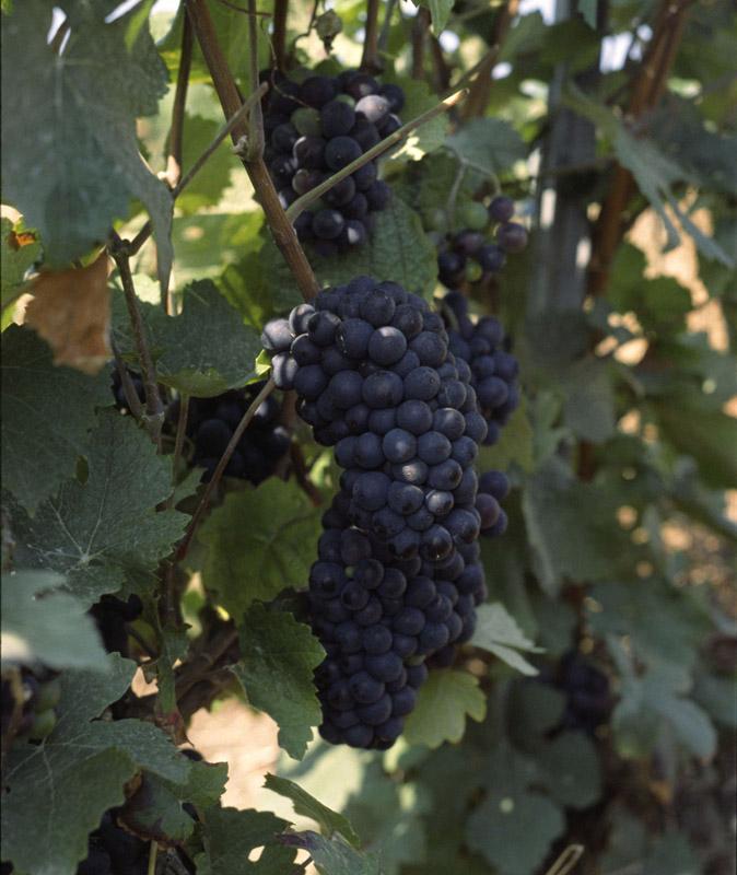 Schwarzriesling - Pinot Meunier