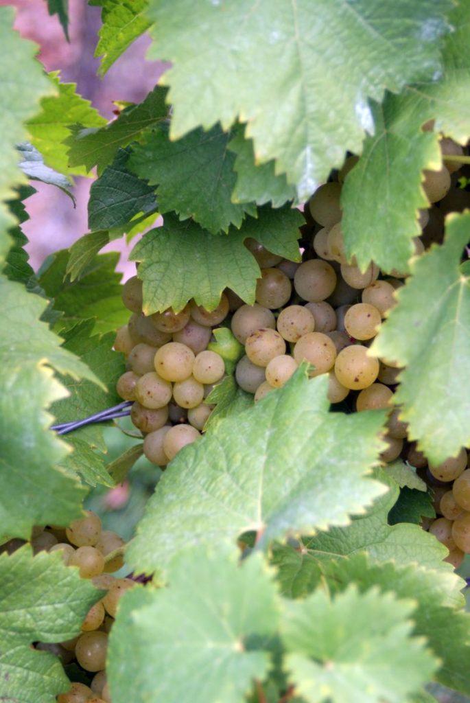 Weißburgunder - Weißer Burgunder - Pinot Blanc
