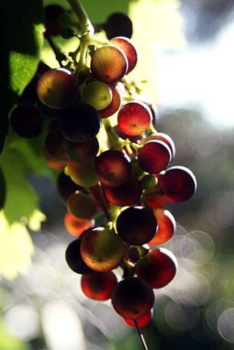 Regent, Rotwein, rote Rebsorte